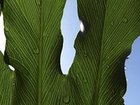 セロウムの葉