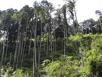 山林の杉の倒木