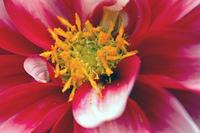 ダリアの花粉