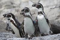 フンベルトペンギン