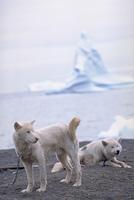 グリーンランドの犬