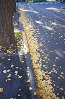 イチョウの落ち葉