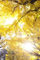 イチョウ並木