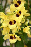 鮮やかな黄色のデンドロビウム