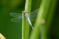 蓮池の折れた茎に羽根を休ませるシオヤトンボ