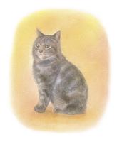 アメショー系の子猫