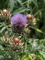 アーティチョーク 薬用植物