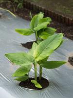 ウコン 薬用植物