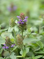 ウツボグサ 薬用植物
