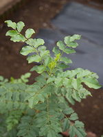 ウラルカンゾウ 薬用植物