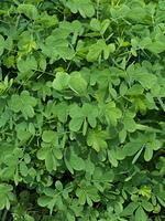 エビスグサ 薬用植物