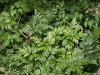 オウレン 薬用植物