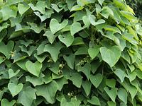 オオツズラフジ 薬用植物