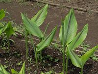 ガジュツ 薬用植物