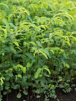 カワラケツメイ 薬用植物