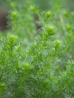 カワラヨモギ 薬用植物