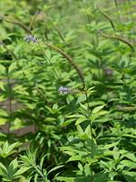 クガイソウ 薬用植物
