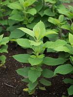 ゲンジン 薬用植物
