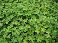 ゲンノショウコ 薬用植物