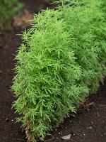 ケイガイ 薬用植物
