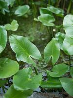 コウホネ 薬用植物