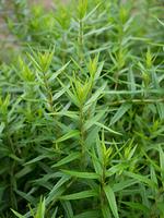 コガネバナ 薬用植物