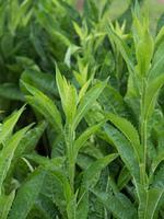 シオン 薬用植物