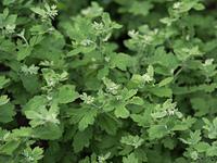 シマカンギク 薬用植物