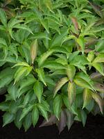 シャクヤク 薬用植物