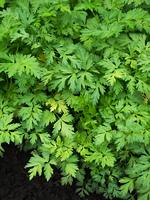 センキュウ 薬用植物