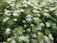 トウキ 薬用植物