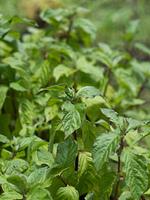 トウゴシツ 薬用植物