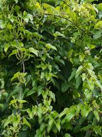 ナガイモ 薬用植物