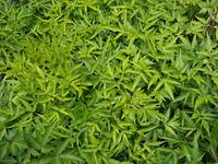 ホッカイトウキ 薬用植物