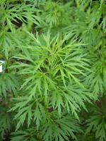 メハジキ 薬用植物
