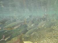 遡上するカラフトマス