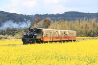 菜の花畑を走る小湊鉄道 里山トロッコ列車