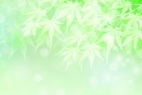 新緑 もみじ 葉 背景