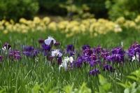 菖蒲園の花ショウブ