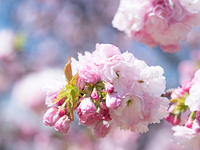 八重桜 サトザクラ群 江戸系