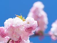 八重桜 サトザクラ群 糸括