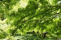 初夏の林の新緑