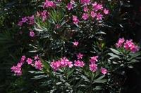 キョウチクトウ(夾竹桃)の花
