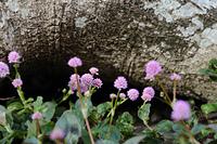 古木とヒメツルソバの花
