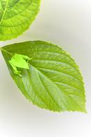 折り紙のカエルとアジサイの葉っぱ