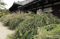 萩の花咲く元興寺