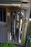 犬小屋の中の番犬