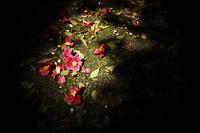 地面に落ちた椿の花