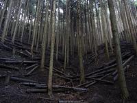 間伐した杉林