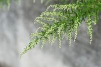 ヨモギの花・花粉症の原因